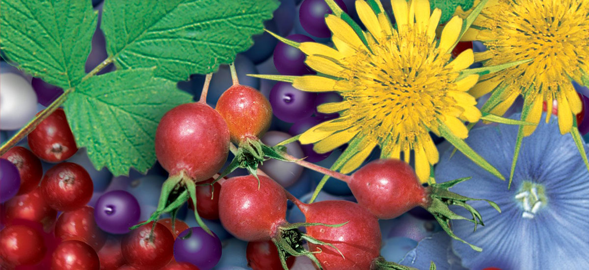 Edible and Medicinal Plants of the Rockies by Linda Kershaw